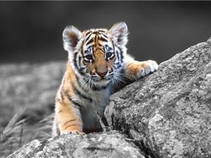 Loài hổ và những sự thật không phải ai cũng biết