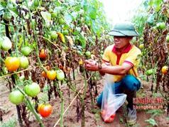 Nghệ An: Sản xuất cà chua sạch ghép trên gốc cà tím