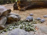 Rùa khổng lồ làm mẹ ở tuổi 80