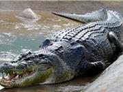 Top 10 loài cá sấu lớn nhất trên thế giới