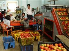 Độc đáo máy rửa, phân loại trái cà chua