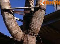 Cây dừa ba ngọn độc nhất vô nhị ở Bình Phước