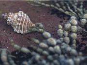 Sên biển có thể thành thuốc chữa ung thư