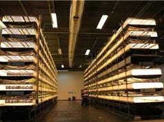 Trang trại thẳng đứng cung cấp 900 tấn rau sạch cho Mỹ mỗi năm