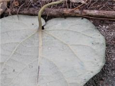 Phát hiện loài thực vật mới ở Lâm Đồng