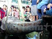 Ngư dân Khánh Hòa bắt được cá ngừ vây xanh quý hiếm 307kg