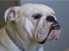 Những khám phá không thể ngờ về giống chó bulldog