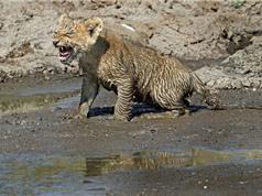 Chùm ảnh sư tử mẹ cứu con thoát vũng lầy