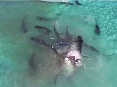 Cận cảnh đàn cá mập xé xác cá voi khổng lồ