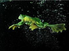 Cảnh con ếch lặn dưới nước như vận động viên chuyên nghiệp