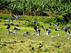 Chùm ảnh bầy chim lạ xuất hiện tại Lào Cai