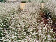 Chiêm ngưỡng vẻ đẹp của vườn hoa tam giác mạch ở Đà Lạt