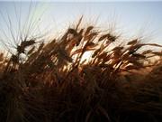 Thực phẩm ngày càng nhiều độc tố vì biến đổi khí hậu