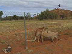 """Kỳ lạ chuyện Kangaroo """"yêu""""... lợn"""