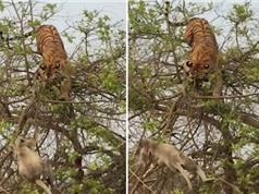 """Khỉ thông minh khiến hổ dữ """"ăn quả đắng"""" trên cây"""