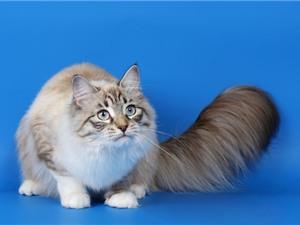 """Top 10 loài mèo """"khủng"""" nhất thế giới"""