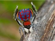 """""""Sởn da gà"""" loài nhện hoang dã với vẻ ngoài kỳ lạ"""