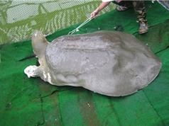 Xác cụ rùa sẽ được chế tác giống thực tế nhất