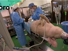 Nuôi cấy bộ phận người trong cơ thể lợn: Nỗi lo lợn trở nên giống người