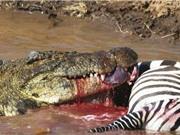 """Cận cảnh """"bữa tiệc"""" trên sông linh đình của loài cá sấu"""