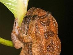 Loài ếch giao phối không cần tiếp xúc cơ thể