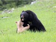 Gấu con bị bố giết vì màu lông khác biệt