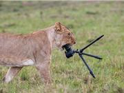 """Sư tử cái """"nhai nát"""" máy ảnh nhiếp ảnh gia"""