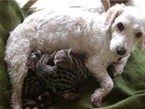 Cảm động trước cảnh chó nhận nuôi đàn cầy mồ côi làm con