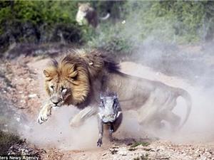 Cận cảnh lợn lòi thoát nanh vuốt sư tử trong gang tấc