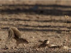 Hình ảnh sóc mẹ tử chiến với rắn độc bảo vệ đàn con