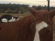 """Ngạc nhiên trước tình bạn giữa mèo """"tí hon"""" và ngựa """"khổng lồ"""""""