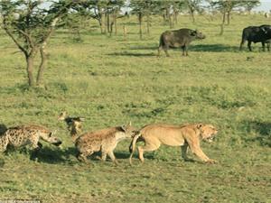 Sư tử bị linh cẩu cắn đuôi, cướp thức ăn trắng trợn
