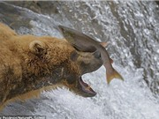 Cận cảnh màn săn cá hồi ngoạn mục của gấu nâu