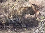 Báo đốm nuôi linh dương non như thú cưng