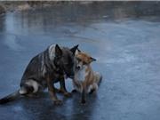 Tình bạn tuyệt đẹp của chó săn và cáo đỏ hoang dã