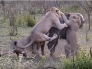 Kinh hoàng cảnh trâu rừng bị cả đàn sư tử xé xác
