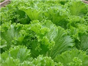 Sản xuất chế phẩm hỗ trợ chữa ung thư từ rau cải