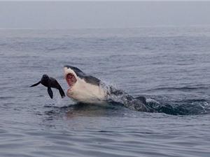 Thót tim hải cẩu thoát chết ngoạn mục khỏi hàm cá mập