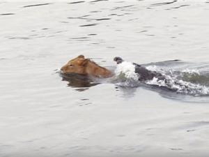 Sư tử chết khiếp khi bị cá sấu tử thần phục kích