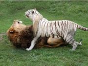Sự thân mật hiếm có giữa hổ trắng quý hiếm và sư tử
