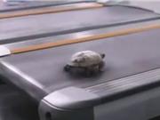 """Clip: """"Chết cười"""" với chú rùa chạy bộ bằng máy"""