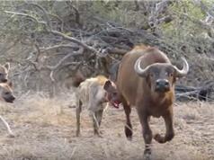 Chùm ảnh đàn linh cẩu hung dữ truy sát trâu rừng