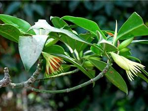 Loài cây kỳ lạ bậc nhất Việt Nam, sinh và nuôi được con
