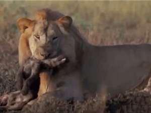 """""""Ớn lạnh"""" trước cảnh sư tử đực ăn thịt linh cẩu con"""