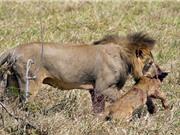 """""""Rợn tóc gáy"""" cảnh sư tử cái bị đồng loại ăn thịt"""