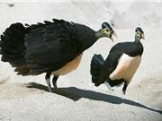 Ngắm loài chim ấp trứng từ nhiệt núi lửa, mới nở đã bay