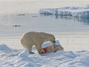 Gấu nâu khổng lồ xé xác đồng loại ngay trên mặt hồ