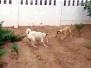 2 chú chó hợp sức cắn đứt đôi rắn 1,5 mét để cứu chủ