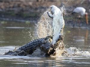 Hãi hùng cá sấu ăn thịt đồng loại tàn khốc