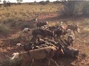 Khốc liệt cảnh tượng chó hoang giết lợn rừng